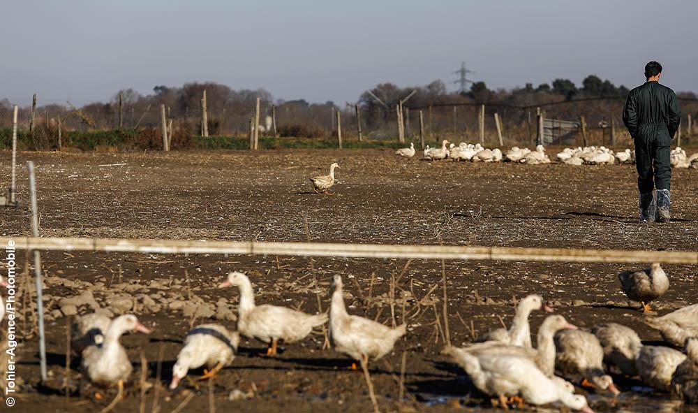 Elevage Santé : Grippe Aviaire…le retour en france avec 46 départements à risque.