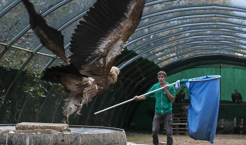 Environnement et protection animal : Du Pays Basque en Bulgarie, réintroduction de 20 jeunes vautours fauves dans les Balkans.