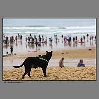 Chien(s) surfeurs lors de la compétition européenne de surf canin à Vieux Boucau dans les landes organisée par les Toutous Surfeurs, et la clinique vétérinaire Zatozte, à Bidart (64).Plage des Sablères ( la plage Nord) de Vieux Boucau.