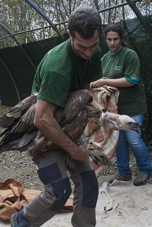 Hegalaldia, du Pays Basque en Bulgarie c'est  plus de 3000 kms qui vont être parcourus par 20 jeunes vautours recueillis et soignés par l'Association Hegalaldia basée à Ustaritz au quartier Arrauntz pour une ONG bulgare. Ils seront relâchés dans les gorges de Kresna pour réintroduire des rapaces nécrophages une opération en collaboration avec la fondation du Bioparc de Doué-la-Fontaine et l'ONG bulgare ( FWFF) Bulgarie Fund For Wild Flora and Fauna .Le nombre de ne cesse d'augmenter au pays basque et Hegalaldia s'est engagée sur cinq ans a fournir 20 spécimens par an à FWFF. L'association bulgare essaie de restaurer un pastoralisme respectueux de l'environnement et de la faune locale sauvage dans les Balkans. Les rapaces ( quatre espèces nécrophage ) à bien failli disparaitre du fait d'une utilisation intensive de poison sous le régime soviétique contre ces grand prédateurs carnivores.   Ustaritz, Pays basque, Nouvelle Aquitaine, Pyrénées-Atlantiques, Europe, France.